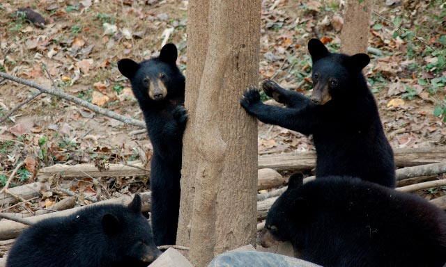 Appalachian Bear Rescue cubs